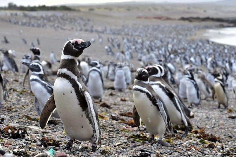 В Аргентине нерест привлёк более миллиона пингвинов