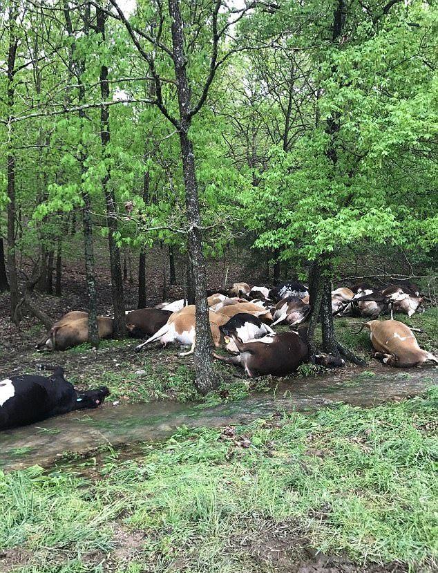 Молния шарахнула сразу 32 коровы