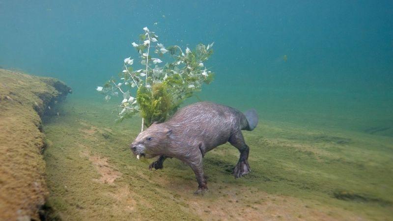 Фотограф четыре года ежедневно часами сидел в реке ради подводного снимка бобра.
