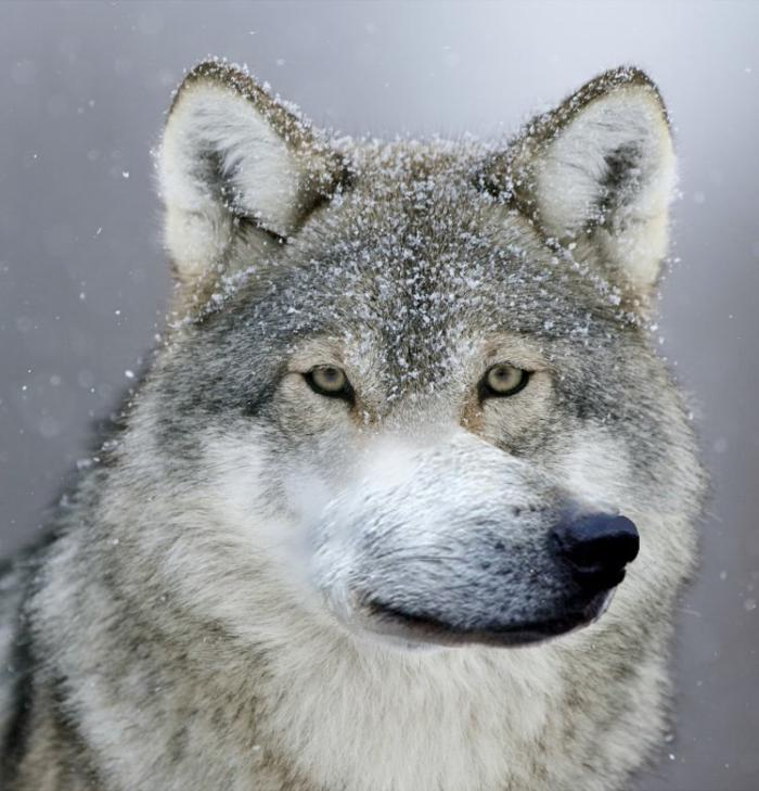 Картинки смешные волки, словом красивая поздравление