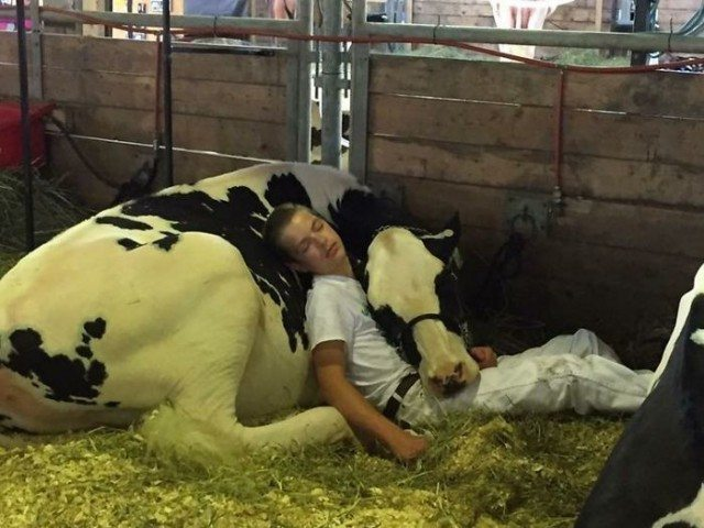 Уставший подросток уснул в обнимку с коровой и проснулся знаменитым
